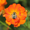 Common Eastern Bumble Bee on Orange Cosmos 2