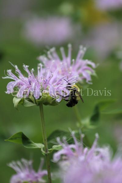 Common Eastern Bumble Bee on Wild Bergamot 12