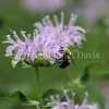 Common Eastern Bumble Bee on Wild Bergamot 12