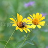 Brown-Belted Bumble Bee on False Oxeye 2