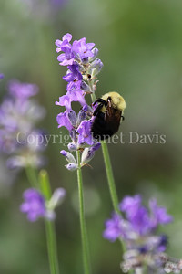 Common Eastern Bumble Bee on English Lavender 3