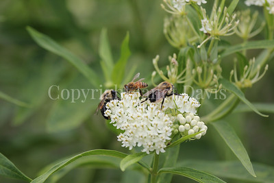 Brown-Belted Bumble Bees and Honey Bee on 'Ice Ballet' Swamp Milkweed