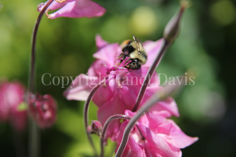 Black-Tailed Bumble Bee on Columbine 1