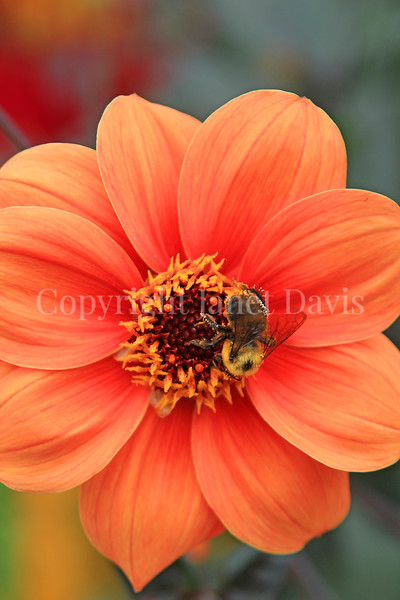 Brown-Belted Bumble Bee on 'Bishop of Oxford' Dahlia 3