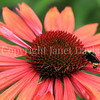 Yellow-Faced Bumble Bee on 'Evan Saul' Echinacea 2