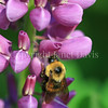 Brown-Belted Bumble Bee on Pink Russell Hybrid Lupine