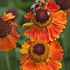 Common Eastern Bumble Bee on Sneezeweed or Helenium