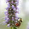 Orange-Belted Bumble Bee on Anise Hyssop 2