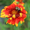 Common Eastern Bumble Bee on Gaillardia or Blanket Flower