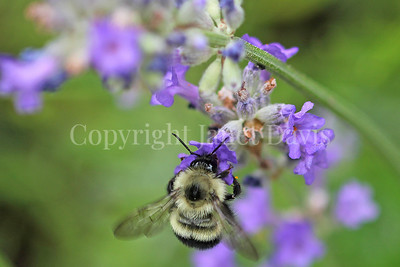 Common Eastern Bumble Bee on English Lavender 2