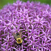 Brown-Belted Bumble Bee on Allium 'Globemaster' 1