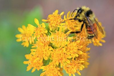 Orange-Belted Bumble Bee on Stiff Goldenrod 2