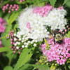 Brown-Belted Bumble Bee on 'Shirobana' Japanese Spirea 2