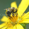 Common Eastern Bumble Bee on Cup Plant 4