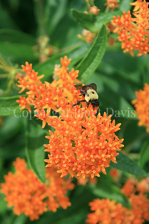Brown-Belted Bumble Bee on Butterfly Milkweed 2