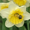 Common Eastern Bumble Bee on 'Ice Follies' Daffodil 3