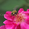 Common Eastern Bumble Bee on Pink Rose