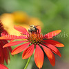 Common Eastern Bumble Bee on 'Cheyenne Spirit' Echinacea 1
