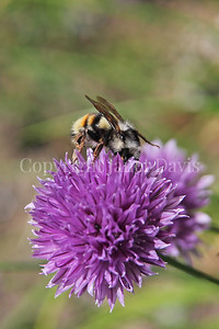Red-Belted Bumble Bee on Chives 2