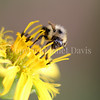 Common Eastern Bumble Bee on Cup Plant 2