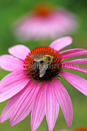 Brown-Belted Bumble Bee on Purple Coneflower 1