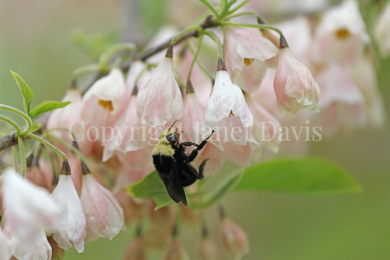 Yellow-Faced Bumble Bee on 'Arnold Pink' Silverbell 1