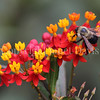 Brown-Belted Bumble Bee on Tropical Milkweed