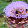 Yellow-Faced Bumble Bees on Cardoon