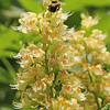 Common Eastern Bumble Bee on Ohio Buckeye
