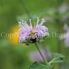 Common Eastern Bumble Bee on Wild Bergamot 11