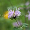 Common Eastern Bumble Bee on Wild Bergamot 11