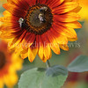 Common Eastern Bumble Bees on Sunflower 3