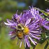 Orange-Belted Bumble Bee on New England Aster