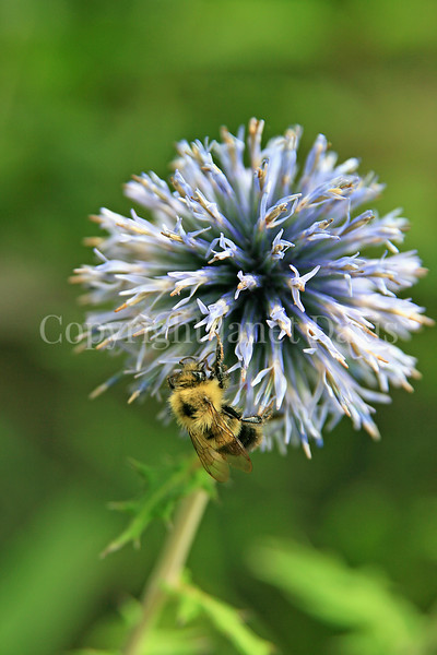Common Eastern Bumble Bee on Globe Thistle 3