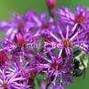 Common Eastern Bumble Bee on Prairie Ironweed