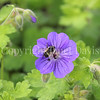 Yellow-Faced Bumble Bee on 'Georgia Blue' Cranesbill