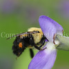Brown-Belted Bumble Bee on Blue False Indigo 1