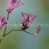 Common Eastern Bumble Bee on Toad Lily 1