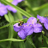 Common Eastern Bumble Bee on Ohio Spiderwort 1