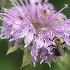Common Eastern Bumble Bee on Wild Bergamot 10