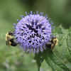 Common Eastern Bumble Bees on Globe Thistle 5