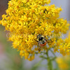 Orange-Belted Bumble Bee on Stiff Goldenrod 3