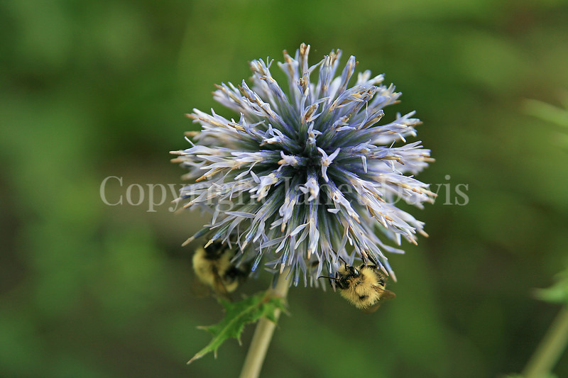 Common Eastern Bumble Bees on Globe Thistle 1