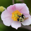 Common Eastern Bumble Bee on Japanese Anemone