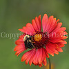 Brown-Belted Bumble Bee on 'Burgundy' Blanket Flower 2