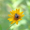 Brown-Belted Bumble Bee on False Oxeye 4