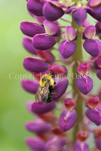 Two-Spotted Bumble Bee on Russell Hybrid Lupine 1