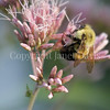 Common Eastern Bumble Bee on Joe Pye Weed 1