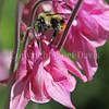 Black-Tailed Bumble Bee on Columbine 2
