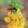 Orange-Belted Bumble Bee on Stiff Goldenrod 1